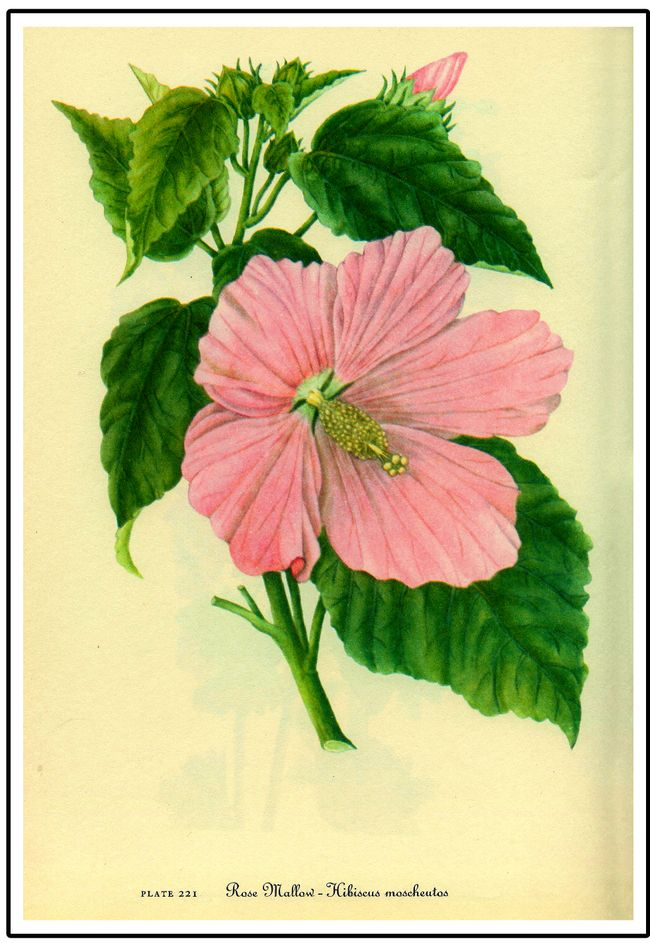 RoseMallow copy